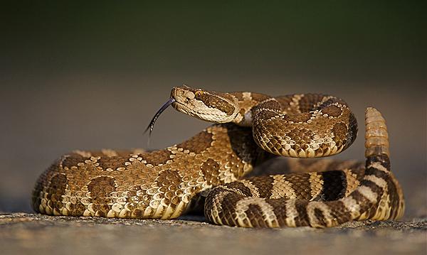 western-rattlesnake-108488321